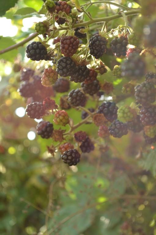 blackberries_in_Dorset