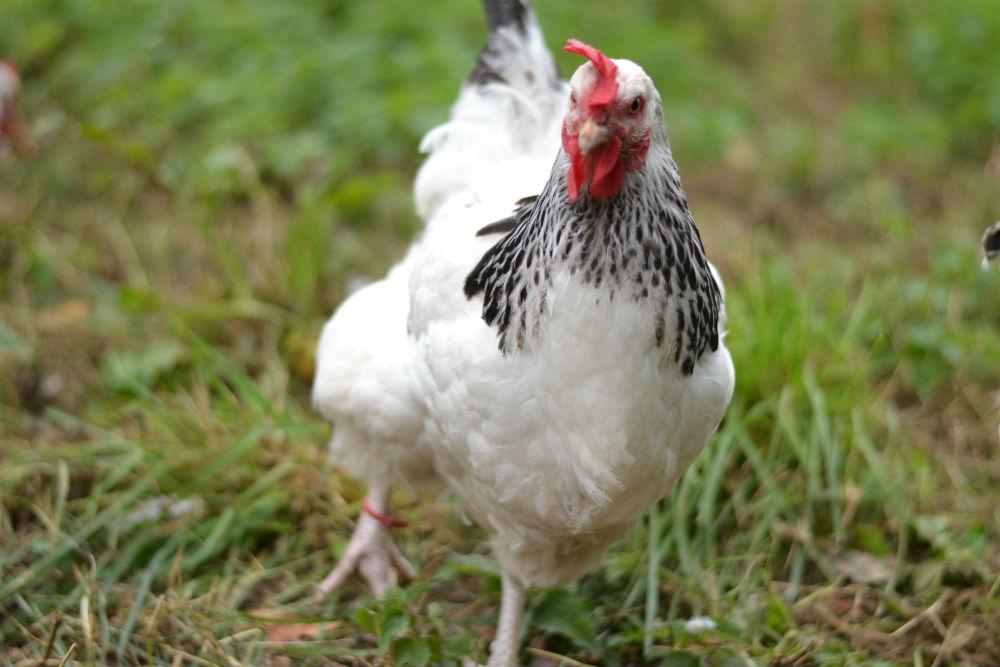 Light_Sussex_hens