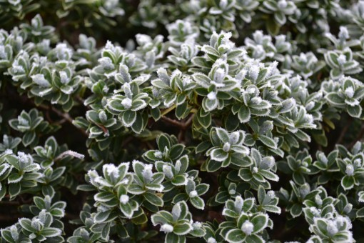 frosted_leaves_