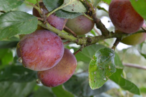 victoria_plums_in-the_garden
