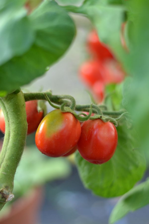 tomatoes_from_kitchen_garden