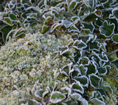 frosted_ivy