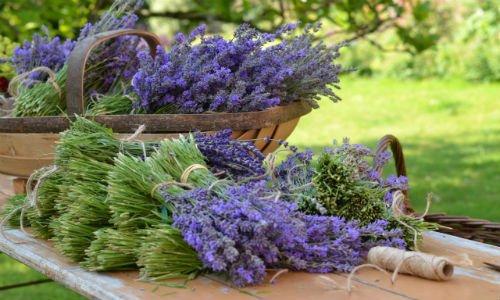 Munstead_lavender